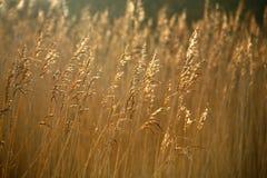 goldene Gräser im Sonnenlicht Stockfoto