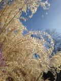 Goldene Gräser und blauer Himmel Stockfotografie