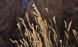 Goldene Gras-Startwert- für Zufallsgeneratorköpfe Stockfoto