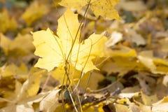Goldene Herbstblätter Stockfoto