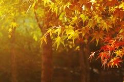 Goldene herbstliche Blätter des Ahorns morgens Stockbilder