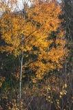 Goldene Herbstniederlassungen Stockbilder