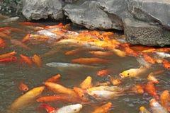 Goldene Karpfen chinesisch Fische im Teich Stadt von Shanghai lizenzfreie stockbilder