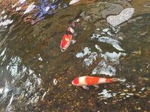 Goldene Koi-Fische Lizenzfreie Stockfotos