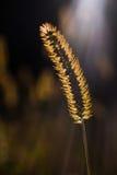 Goldene Korn-Grube durch Sonnenlicht Lizenzfreie Stockfotografie