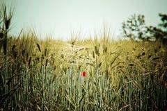 Goldene Kornfeldnahaufnahme mit Mohnblumeblume Stockfotos