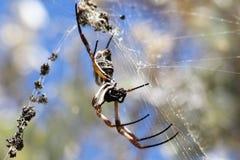 Goldene Kugel-spinnende Spinne Lizenzfreie Stockfotografie
