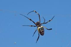 Goldene KugelWeb spider gegen blauen Himmel stockbilder