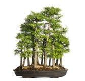 Goldene Lärche, Bonsaibaum, Pseudolarix amabilis, lokalisiert Stockfoto