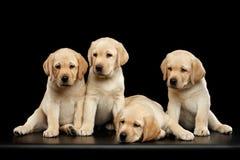 Goldene Labrador retriever-Welpen lokalisiert auf schwarzem Hintergrund Lizenzfreies Stockfoto