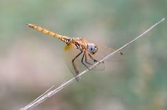 Goldene Libelle II Lizenzfreies Stockbild
