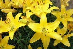 Goldene Lilienblumen Stockbild