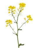 Goldene lokalisierte Blumen des wilden Senfes Lizenzfreie Stockfotos