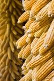 Goldene Maiskolben, die hängen, um zu trocknen (Vertikale) Stockfotos