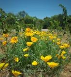 Goldene Mohnblumen wachsen in einem Flecken zwischen Weinreben Lizenzfreies Stockbild