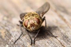 Goldene Muscidae-Stubenfliege Stockfoto
