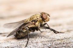 Goldene Muscidae-Stubenfliege Stockfotografie