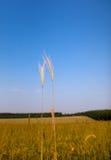 Goldene Ohren über blauem Himmel Stockfotografie