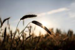 Goldene Ohren des Weizens Stockfotografie