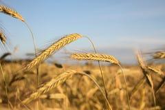 Goldene Ohren des Weizens Stockbild