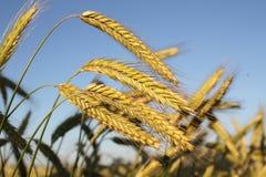 Goldene Ohren des Weizens Lizenzfreies Stockbild