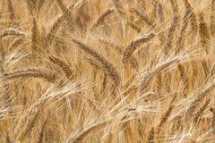 Goldene Ohren des Weizens Stockfotos