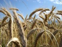 Goldene Ohren und Feld des Weizens bereit geerntet zu werden Stockbilder