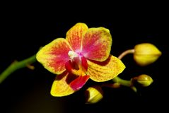 Goldene Orchidee. Stockfoto
