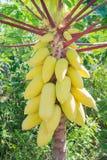 Goldene Papayafrucht auf Baum Lizenzfreie Stockbilder