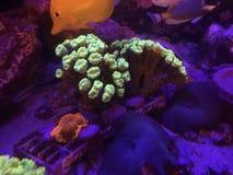 Goldene Pilz und Trompete Kriptonite-Koralle auf einem Riff-Behälter Lizenzfreies Stockfoto