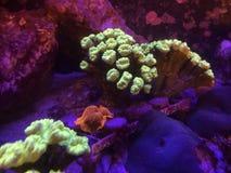 Goldene Pilz und Trompete Kriptonite-Koralle auf einem Riff-Behälter stockbilder