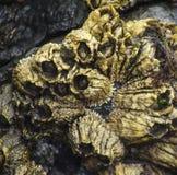 Goldene Rankenfußkrebse Stockbilder