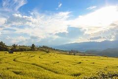 Goldene Reisfelder in der Landschaft von Thailand Stockfotos