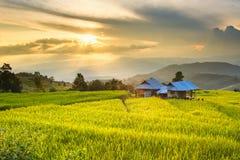 Goldene Reisfelder im Central Valley bei Sonnenuntergang Stockbilder