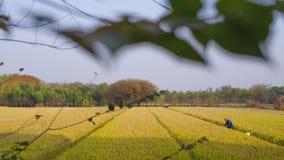 Goldene Reisfelder im Herbst stockbilder