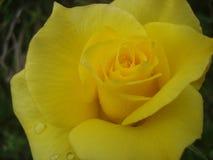 Goldene Rose Lizenzfreie Stockfotos