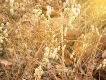 Goldene Schilfe Lizenzfreie Stockfotografie