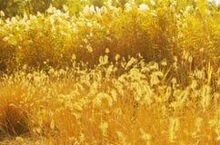 Goldene Schilfe im Sonnenschein Lizenzfreie Stockbilder