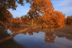 Goldene schwarze Pappeln im Herbst Stockfoto