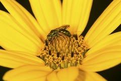 Goldene Schweissbiene, die auf einer Sonnenblume in Connecticut herumsucht Lizenzfreie Stockfotos