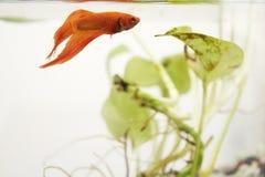 Goldene siamesische kämpfende Fische Lizenzfreie Stockfotografie