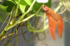 Goldene siamesische kämpfende Fische Lizenzfreie Stockfotos