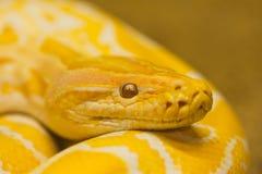 Goldene siamesische Pythonschlange stockfotografie