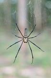 Goldene SIlk Kugel-spinnende Spinne, die auf ihr Netz wartet Stockfotos