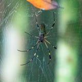 Goldene Silk Spinne lizenzfreie stockbilder