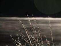 Goldene Stiele des langen Grases hinaufkletternd im aufgehende Sonne stockbild