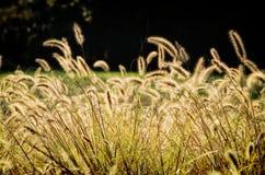 Goldene Strahlen von Bristlegrass Stockfoto