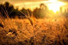 Goldene Stunde und Feld mit Korn stockfoto