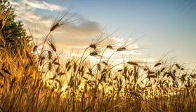 Goldene Stunde und Feld mit Korn lizenzfreie stockfotografie