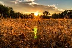 Goldene Stunde und Feld mit Korn lizenzfreie stockfotos